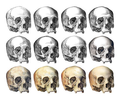 Human Skull Collection