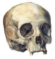 Cranium Scientific Illustration