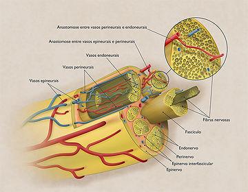 Peripheral Nerve Microcirculation