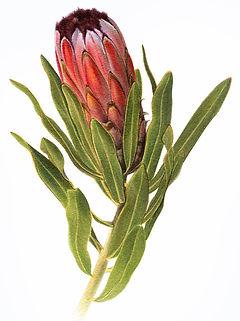 Protea, Sugarbush
