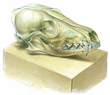 Vulpes vulpes, Red Fox, Skull