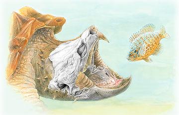 Macrockelys temminckii, Alligator Snapping Turtle
