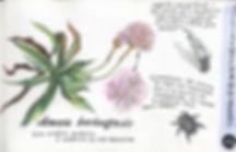 Armeria berlengensis, Berlenga Island
