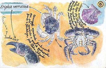 Eriphia verrucosa, Berlenga Island