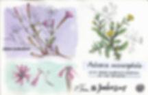 Silene scabriflora, Pulicaria microceph, Berlenga Island