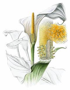 Zantedeschia aethiopica. Calla Lily
