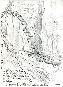 Bauhinia rutilans, Amazonia