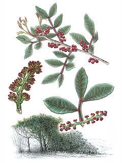 Pistacia lentiscus, Mastic
