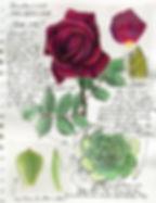 Rose, Succulent