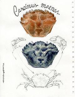 Carcinus maenas, Ria Formosa