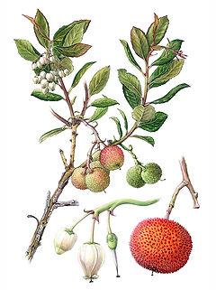 Arbutus unedo, Strawberry Tree