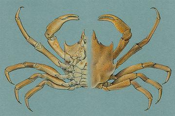 Pugettia producta, Kelp Crab