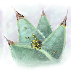 Succulent, Spiderlings