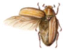 Anoxia, Coleoptera