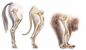Mammal, Legs, Posterior Limbs, Comparison