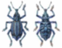 Eupholus bennetti, Blue Weevil