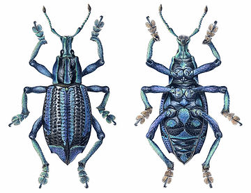 Eupholus bennetti, Blue Weevil