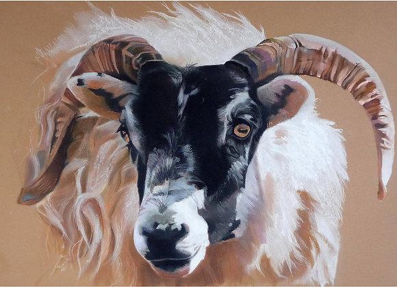 Scottish Black Faced Ewe