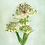 Thumbnail: Astrantia Spring
