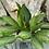 Thumbnail: Chinese evergreen
