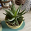 Thumbnail: Cactus & succulent pair