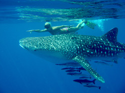Китовая акула у берегов Ко Чанга