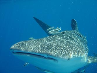 Китовая акула у берегов Ко Чанг