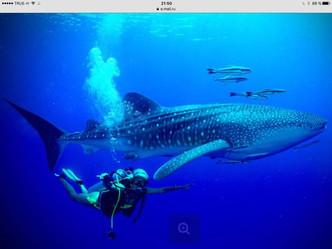 К нам все чаще заходит в гости китовая акула.