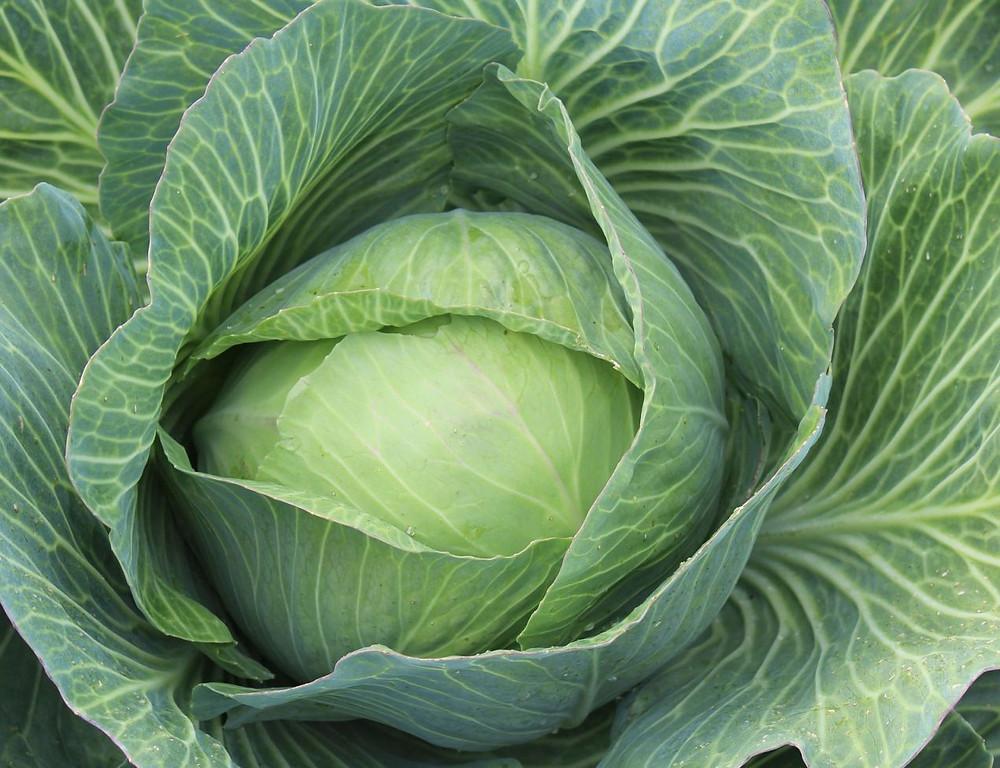 white-cabbage-Weißkraut Weißkohl