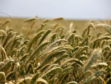 Getreide #2 – der Roggen