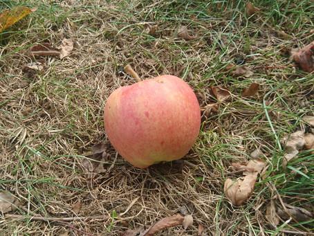 Der Apfel fällt zu früh vom Stamm…