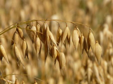 Getreide #3 – Aus dem Norden: Hafer