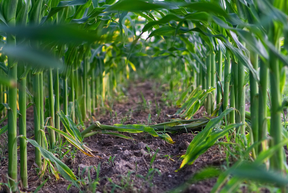 corn-3508552_1920