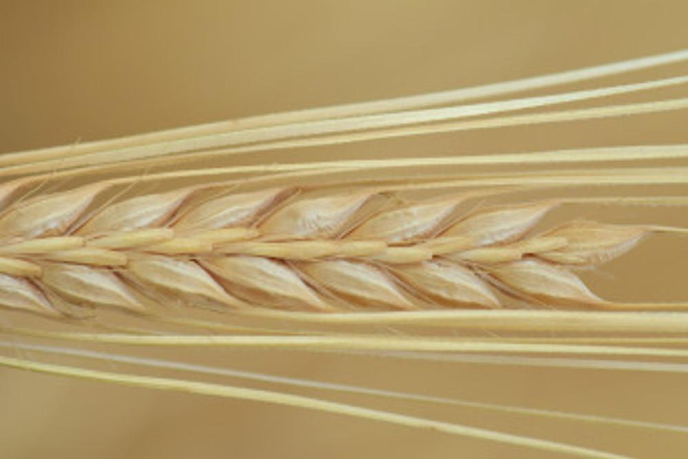 barley-2465781_1920