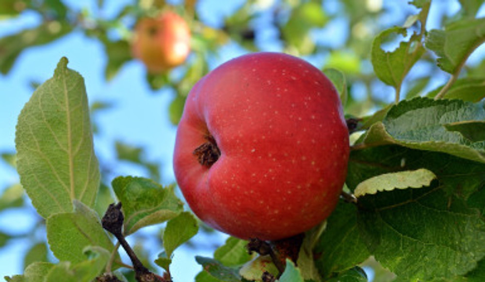 apple-1609697_1280