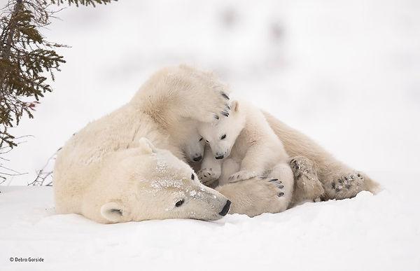 Polor Bear Love .jpg