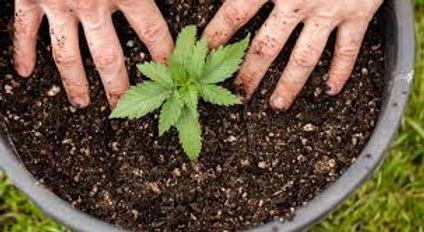 cannabis hands.jpeg