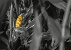 corn on the field