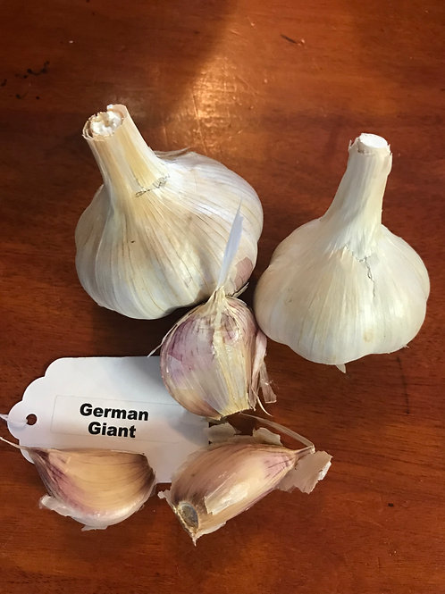 German Giant Garlic