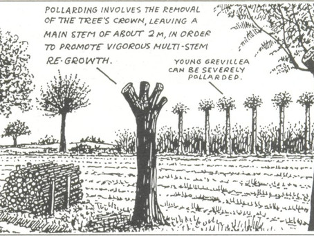 An Idea Whose Time Has Come Again (Pollarding and Coppicing)
