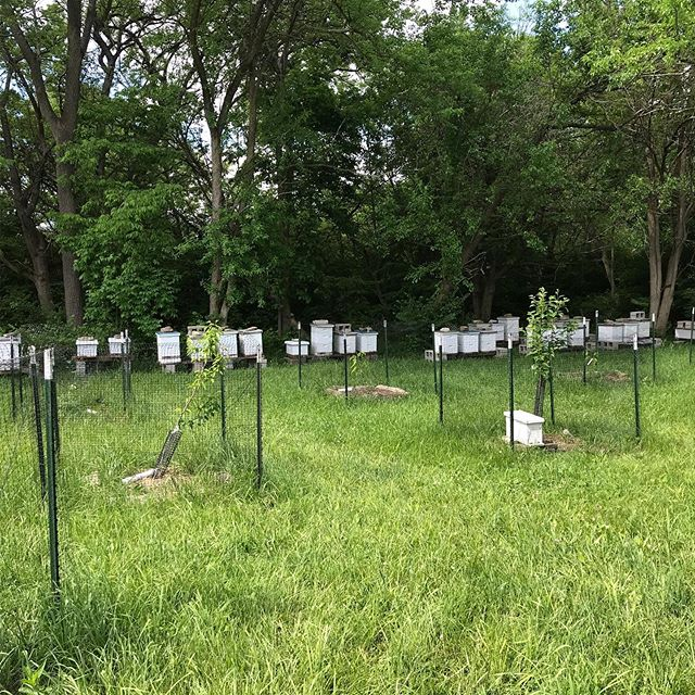Growing apiary due to numerous swarmings