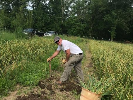 2019 Garlic Harvest Has Begun!