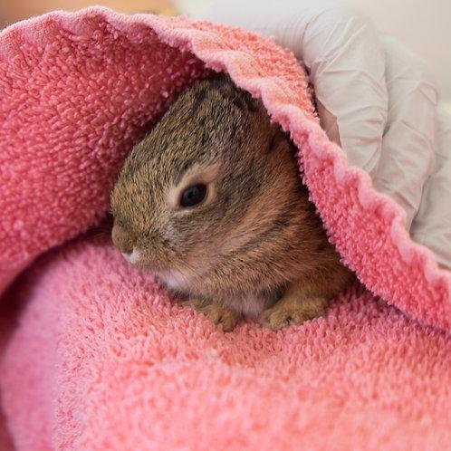 Sponsor a Species: Brush Rabbit