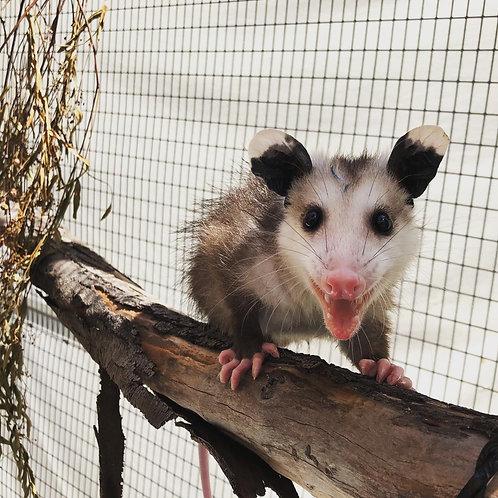Sponsor a Species: Opossum