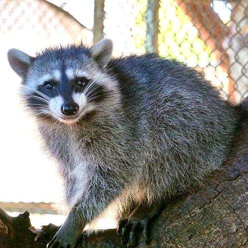 Sponsor a Species: Raccoon