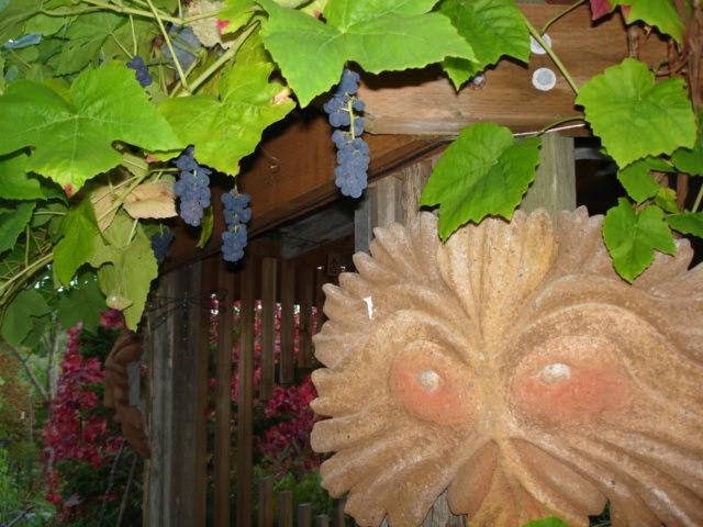 Grapes on Gazebo