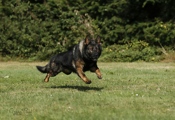 Schäferhund Grisu im Sprint auf dem Hundeplatz