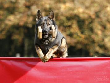 Schäferhund Grisu sprint über die Meterhürde