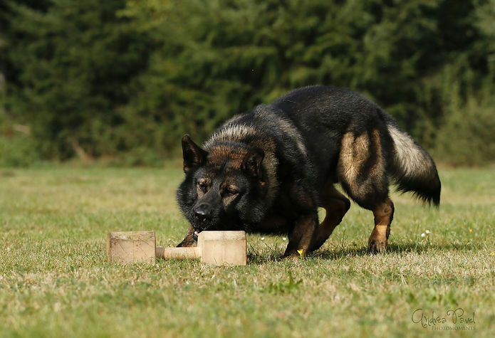 Schäferhund Grisu beim Hundetraining