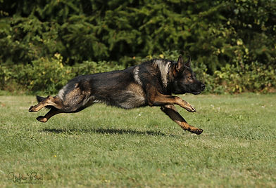 Schäferhund Grisu im Sprint